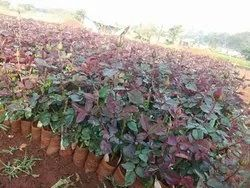 Taj Mahal Rose Plants