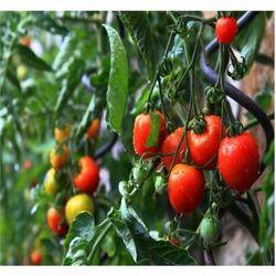 Tomato Leaf Absolute Oil