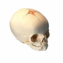 Foetal Child Skull (Infant Skull) Model