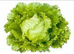 Bruma Iceberg Lettuce Seeds
