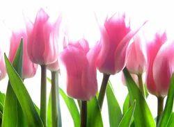 Hybrid Tulip Flowers, Packaging Type: Carton Box