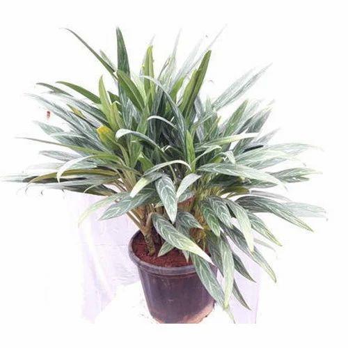 Aglaonema Commutatum Plant Aglaonema Plant Plants Paradise Pune
