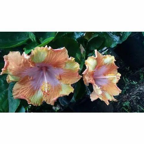 Hibiscus Plant फलदर पध फलवरग