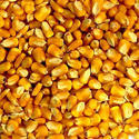 Dry Yellow Corn Seed