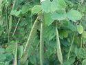 Bauhinia Racemosa Plants