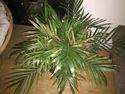 Refix Palm Houseplants
