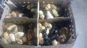 Nati Koli Chicks