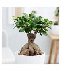 bonsai plant manufacturers