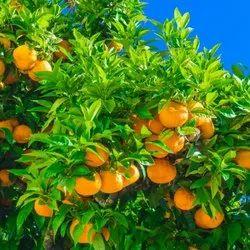 Petitgrain Mandarin Oil
