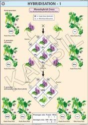 Hybridisation-1(Monohybrid Cross) For Genetics & Evolution Chart