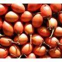 Mimusops Elengi Seed