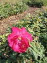 Divine Open Field Roses Plants