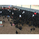 30 Day Old Kadaknath Chicks