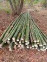 Treated Bamboo