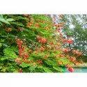 Caesalpinia Pulcherrima Tree