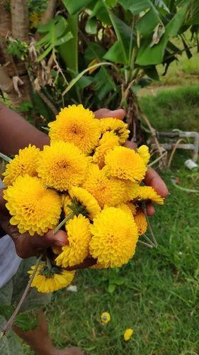 Yellow Chrysanthemum Flowers (Marigold and Poornima)