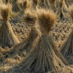 Millet Hay