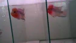 Super Red Dragon Flower Horn Sale