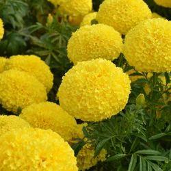 Yellow Marigold Seed