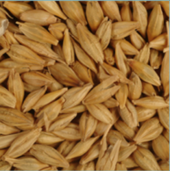 Brown Barley, Size: 10 mm Approx, High in Protein