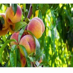 Peach Tree Leaf Absolute Oil nbsp