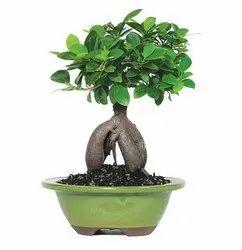 750 Gm Ficus Ginseng