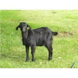 Osmanabadi Goat - Wholesale Price & Mandi Rate for Osmanabadi Goat