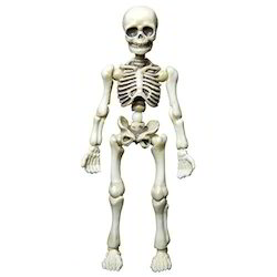 Human Skeleton Figure