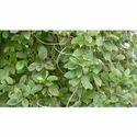 Gurmar Leaves ( Gymnema Sylvestre)