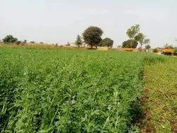 Natural Methi Grass Seeds, Packaging Type: Plastic Waterproof Bag, Packaging Size: 2-50 Kg
