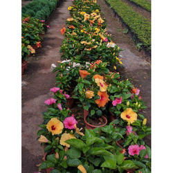 Hibiscus Plant At Rs 50 Piece फलदर पध
