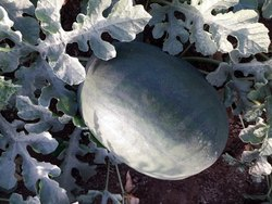 Black Sweety Krishna Fresh  Fruit Fresh Watermalon