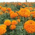 Marigold Flower Extract Lutein 10%