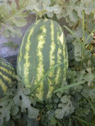 A Grade Fresh Organic Watermelon for Export purpose