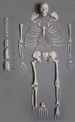 Disarticulated Skeleton Model
