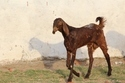 Brown King Sirohi Goat