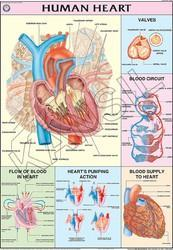 Human Heart For Human Physiology Chart
