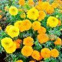 Marigold Flower Plant