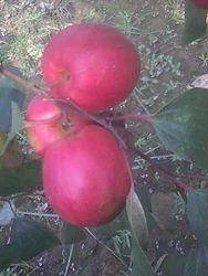 Red Apple Ber Plant