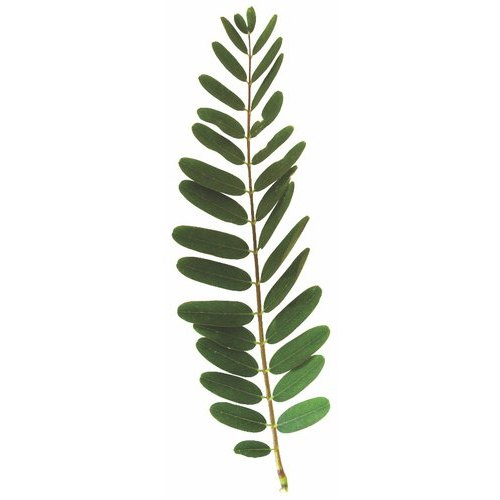 Green Grandiflora Leaf, Packaging Size: 5 Kg To 25 Kg, Packaging Type: Bag
