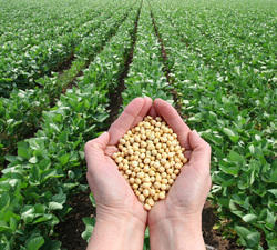 Soybean Seeds - JS - 335