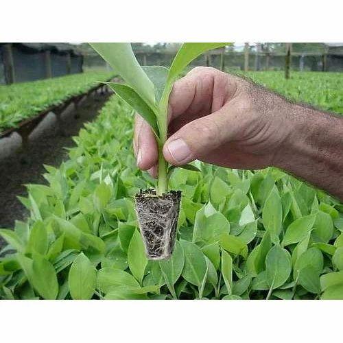 Green Banana Tissue Culture Plant