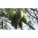 Bombax Ceiba Seed