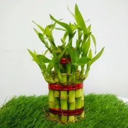 Green Glass 2 Layered Lucky Bamboo, For Office