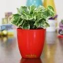 White Money Plant Red Plastic Pot