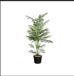 Bamboo Plants In Delhi Latest Price Amp Mandi Rates From