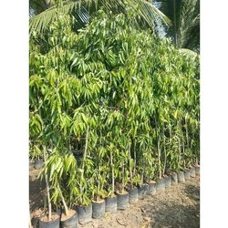 Ashoka Tree - Wholesale Price & Mandi Rate for Ashoka Tree