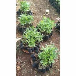 Full Sun Exposure Melia Dubia Plant