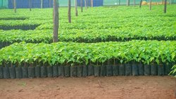 Pappaya Fruit Plant