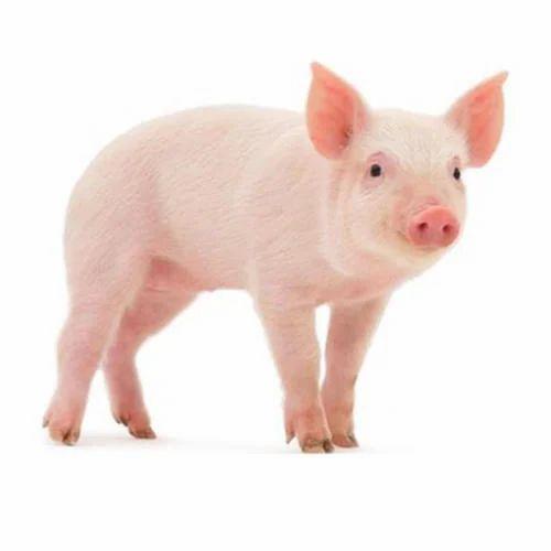 Male Pig Vs Female Pig